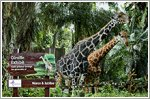 Tan Chong adopts Singapore Zoo giraffes Marco and Jubilee